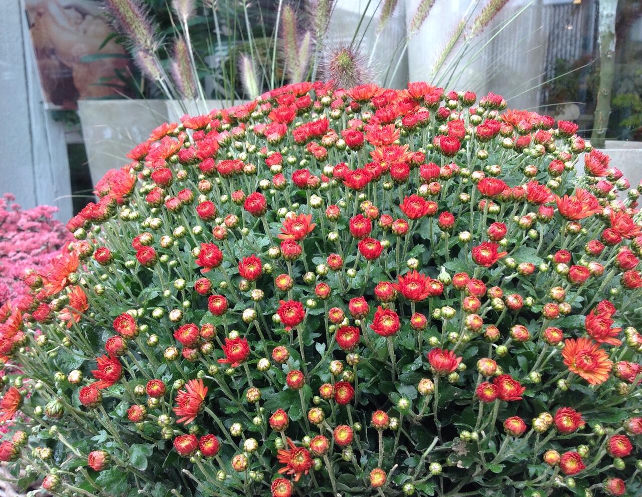 2017 BLUMEN RAMPP Herbst Chrysanthemenbusch