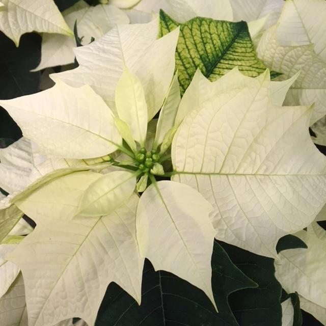 2017_BLUMEN RAMPP_Weihnacht_Stern
