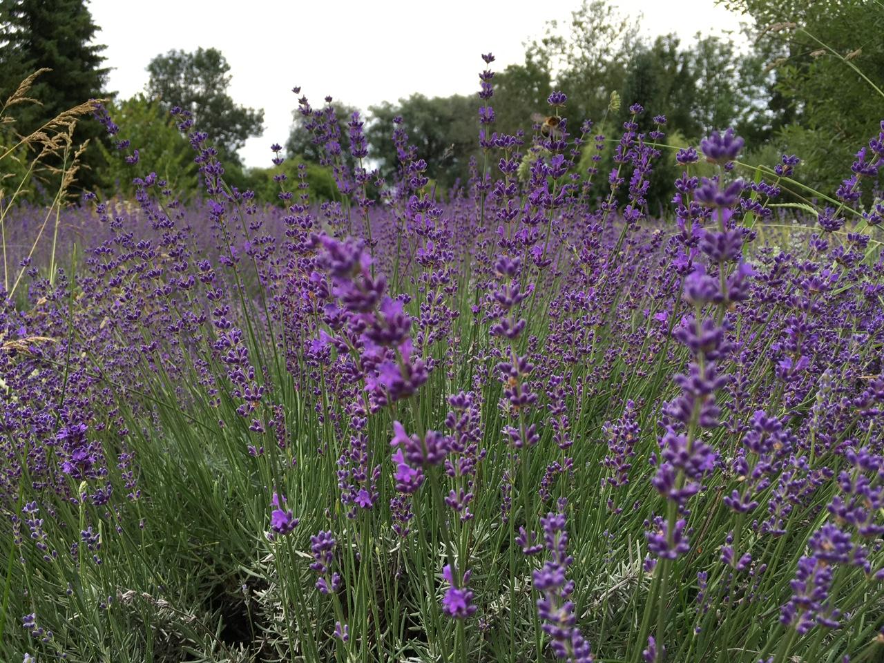 2018 Lavendel Bienen